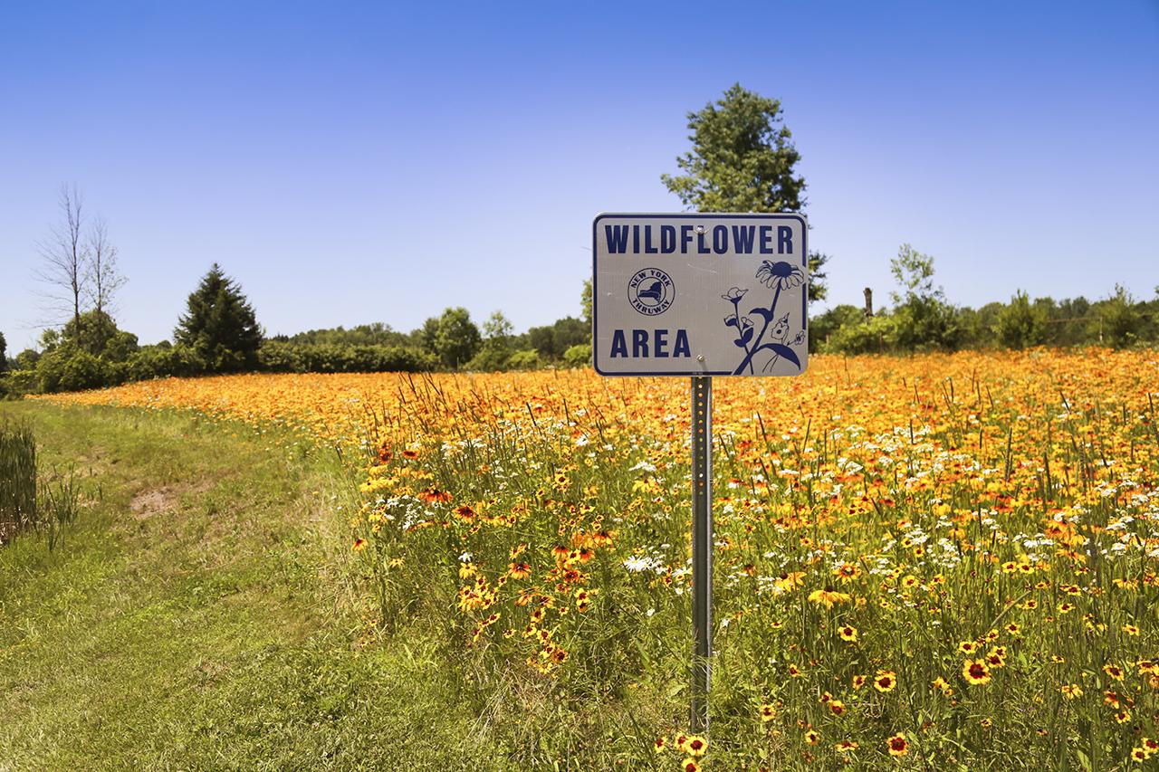 Wild Flowers in Syracuse Area (photo)