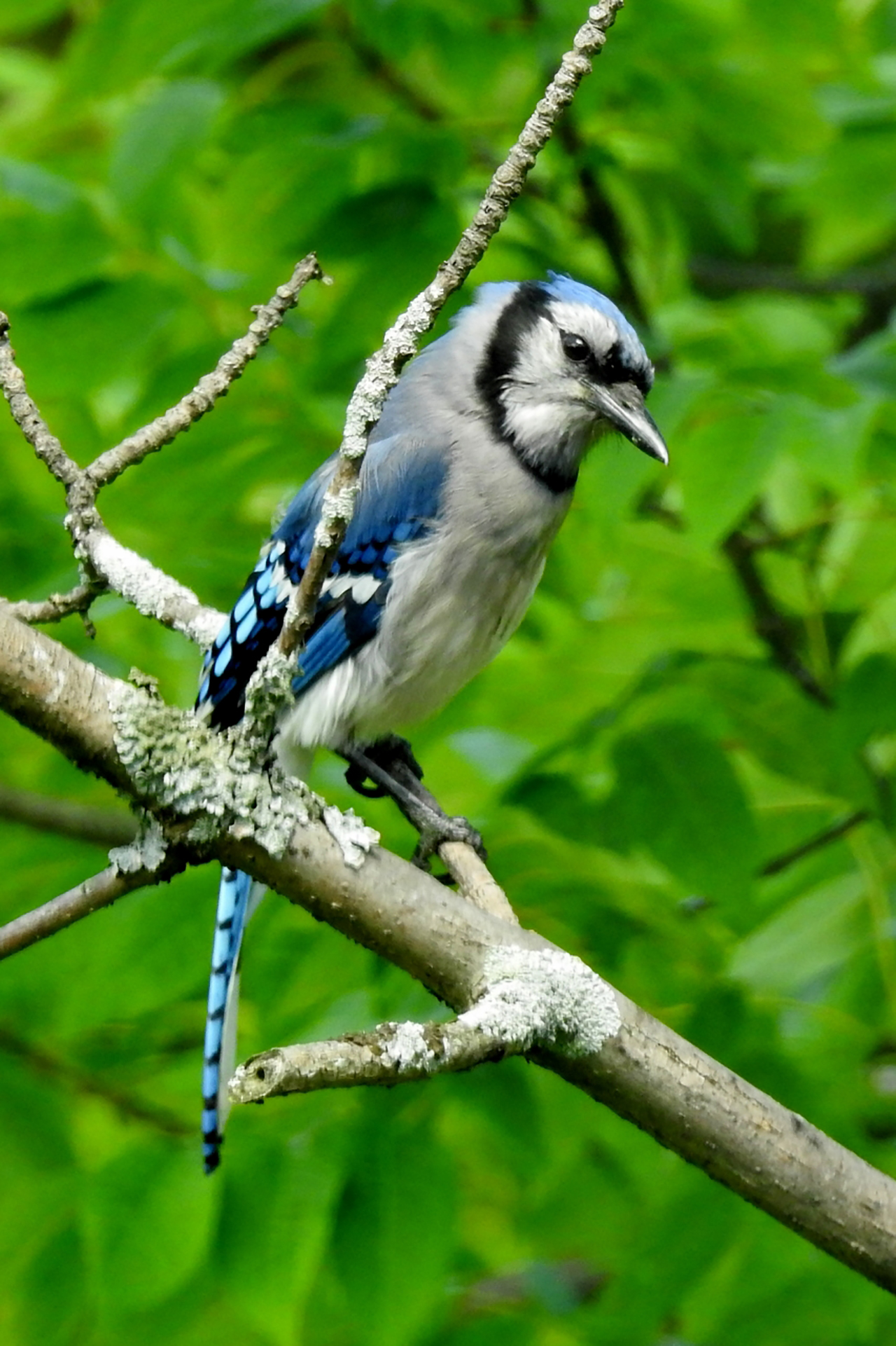 Blue Beauty in Ontario County (photo)